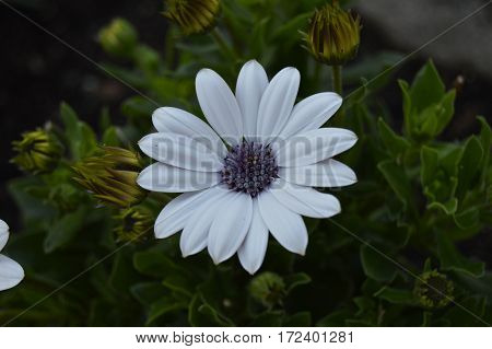 White and purple daisy between green leaves outdoors