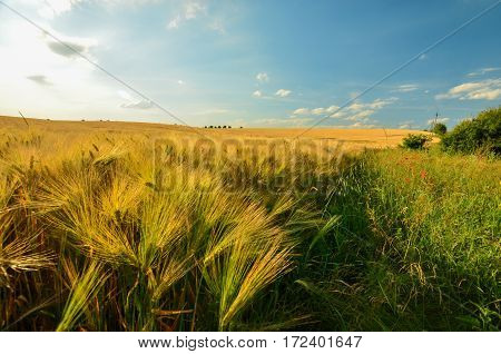 The wheat field is with flowers. Weeds from a wheat