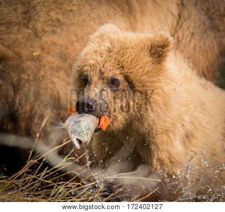 Alaskan Brown Bear Cub With Salmon