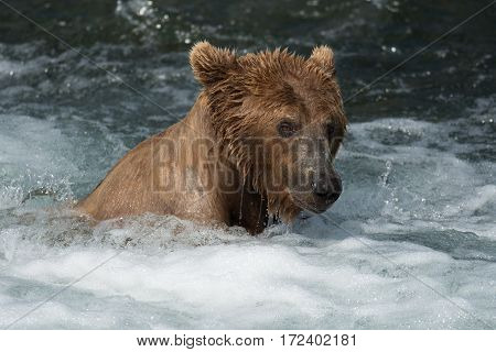 Alaskan Brown Bear At Brooks Falls