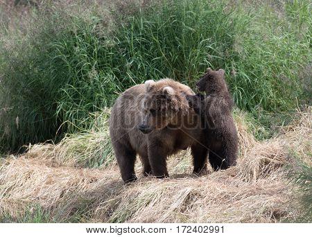 Alaskan Brown Bear Cub And Sow