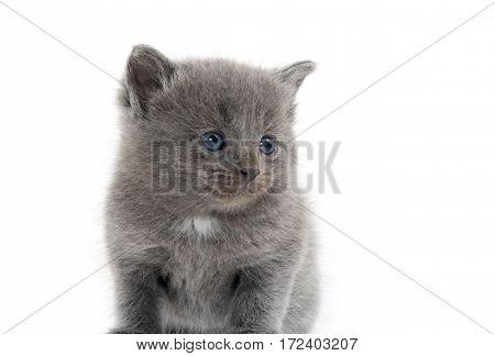 Cute Gray Kitten On White Background