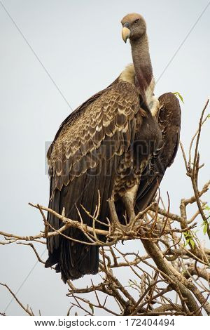 Entire vulture standing tall on top of a tree