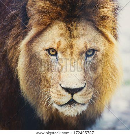 A Beautiful Portrait Of A Big Wild Male Lion