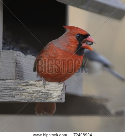A male Northern Cardinal (Cardinalis cardinalis) holding a sunflower seed in its beak while sitting non a bird feeder in York County Pennsylvania, USA.