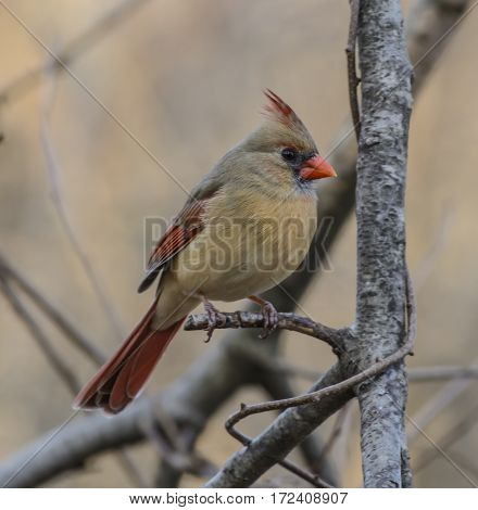 A female Northern Cardinal (Cardinalis cardinalis) sitting on a branch in York County Pennsylvania USA, shown in left profile.