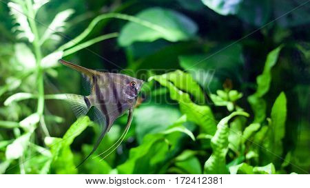 Angelfish swimming in heavily planted tropical aquarium.