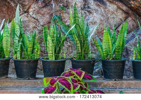 Sansevieria Trifasciata/ Mother-in-law/ Snake Plant With Purple Nettle Painted Plant In Garden