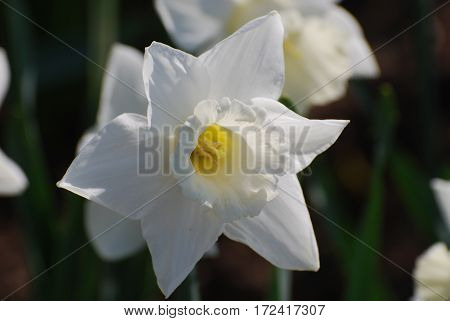 Blooming white daffodil flower blossom in Spring.