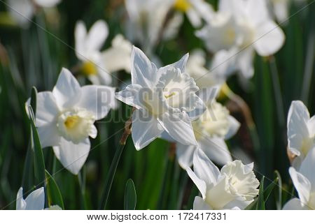 Pretty garden with blooming white narcissus flowers.