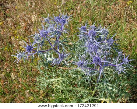 blue sea holly plant flowering, Montenegro