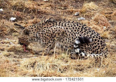 Wonderful eating Cheetah in the Landscape of Namibia