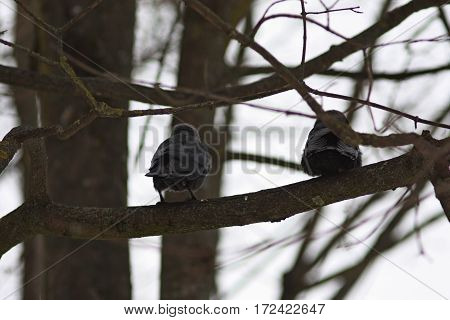 Back view of pair of black birds raven jackdaws sitting on the tree