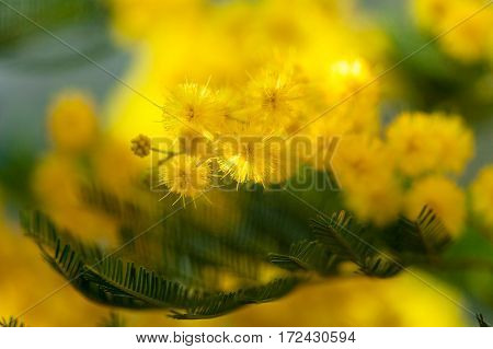 Yellow tender mimosa at spring time in macro