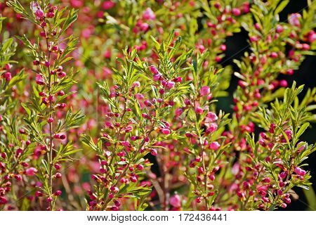 background, beautiful, beauty, biology, bloom, blossom, botany, branch, bush, close, color, colorful, culture, delicate,pink flowers