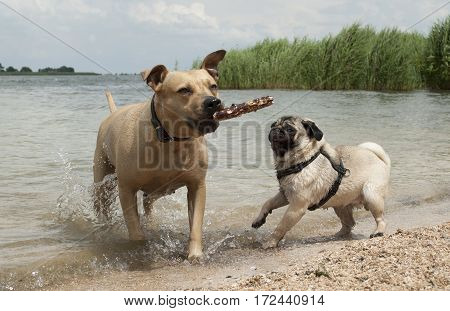 two happy healthy cute dogs pug puppy dog and pit bull terrier swimming and playing outside at beach in park