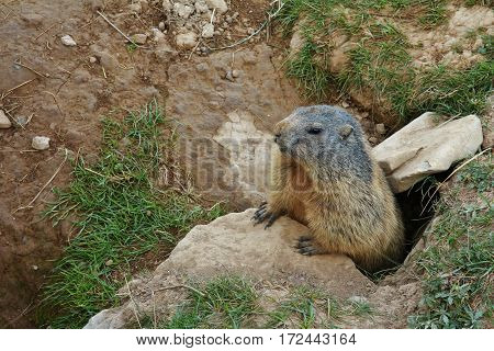 Marmot looking out of a hole. Wild animal living in the Alps.