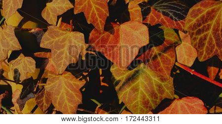 Wonderfully colored leaves close together in orange