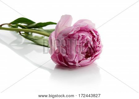 Beautiful pink peony flower lying on white background. Isolated. Copy space.