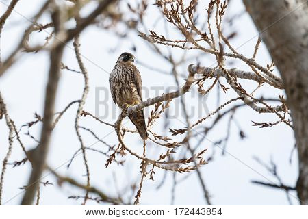 Peregrine falcon perched on tree Vancouver BC Canada