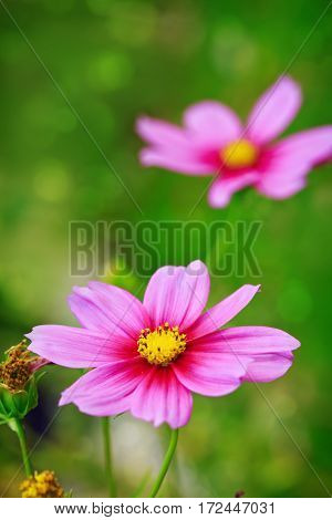Pink cosmos flower isolated on green. Summer floral background. Selective focus at the flower.