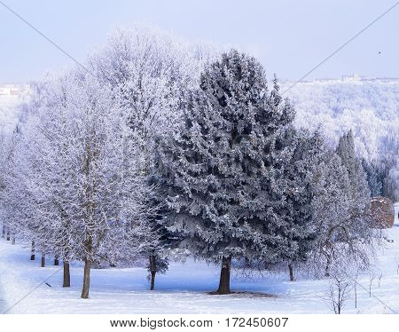 the trees on the Avenue in the Park at winter