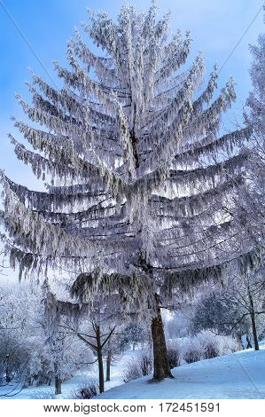 beautiful tree, like from a fairytale covered with hoarfrost against the sky