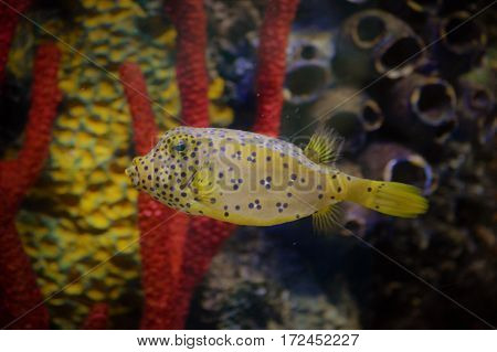 A box fish swimming in the tank