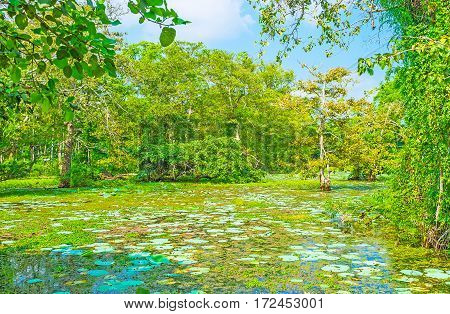 Sri Lankan Swamp Forest