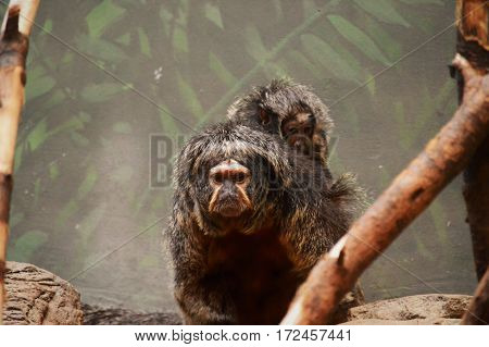 Baby Saki monkey riding on their mother's back
