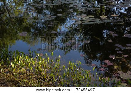 Quiet pond with lily pads, reflections of blue sky and trees, and sunlit margin