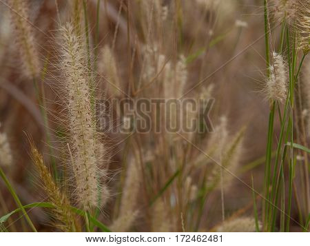 Beautiful grass flower (poaceae) with sunlight Naturally beautiful flowers .