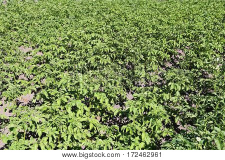 field of young potato. isolated white background