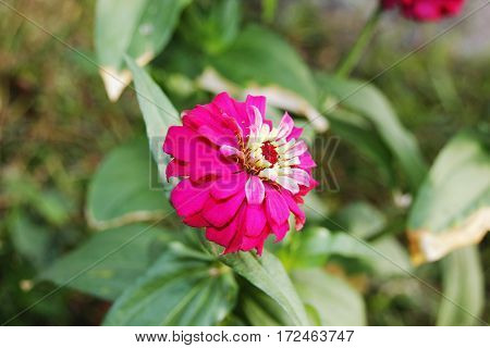a single beautiful magenta flower with crown