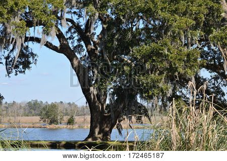 horizontal shot grand oak tree in front of water