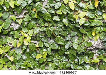 The green weed on the concrete wallweed wall background