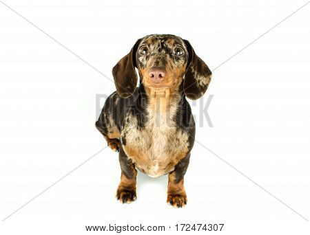 Short Marble Dachshund Dog Sit Is Looking Ahead, Hunting Dog, Isolated On White Background.