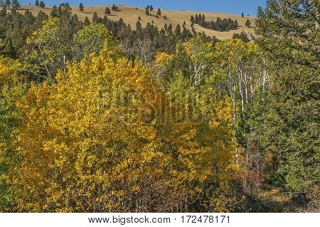 Aspen trees with yellow and orange leaves mixed with evergreens in Montana