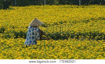 Flower Plantation At Sunny Day In Vietnam