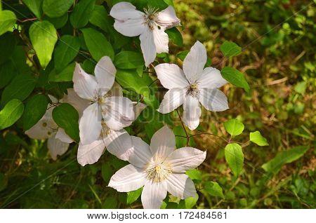 Beautiful Clematis Flower