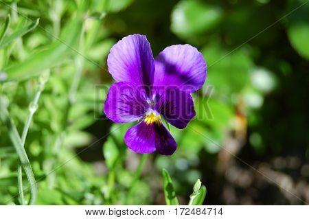 Beautiful Viola Tricolor Flower