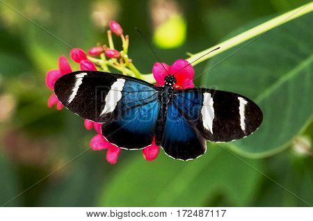 Blue longwing butterfly on red flowers in a garden with a green background.