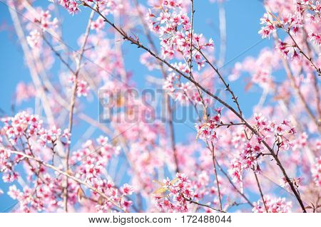 Close up cheery blossom in spring, Pink flower
