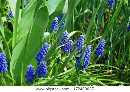 Puple Hyacinth Flower