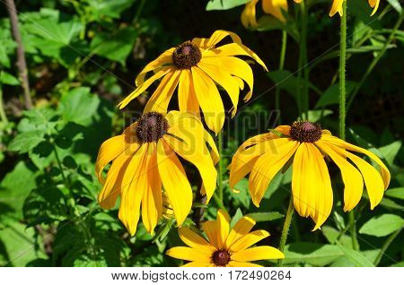 Beautiful rural flowerbed with yellow blooming rudbeckia