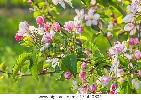 Pink blooming branch of apple tree close up on a background of a spring garden at sunset backlit. Selective focus