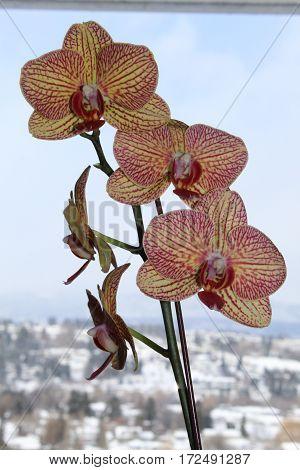Orchid Macro.