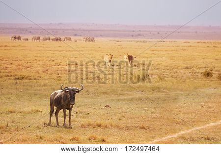 Two lions trailing an old blue wildebeest breaking a herd at Kenyan savanna, Africa
