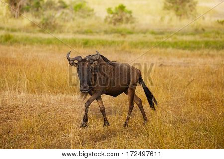 Wildebeest walking alone in dry riverbed at Kenyan savannah, Africa