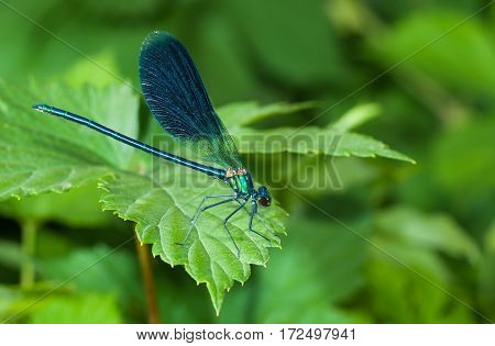 Closeup of dragonfly Calopteryx sitting on a green leaf.